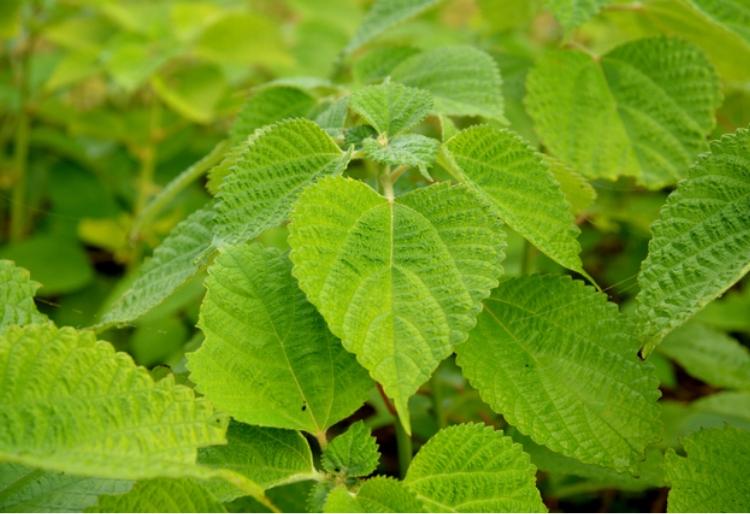 青苧(別名:からむし、苧麻)イラクサ科の多年草麻織物の原料